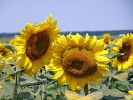 sunflower-1146375__180